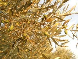 Oliviers-olives